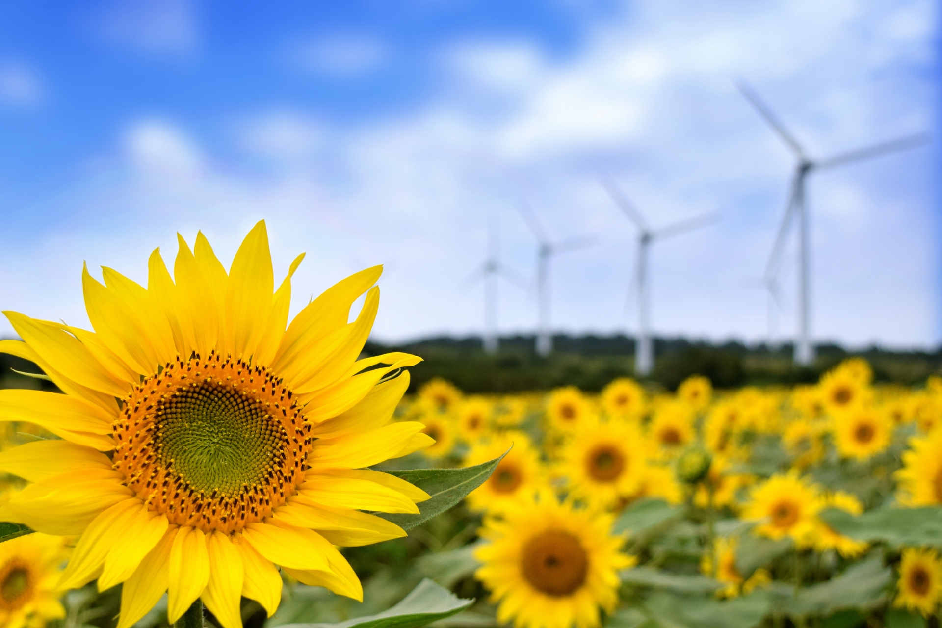 郡山布引高原のひまわりと風力発電機群