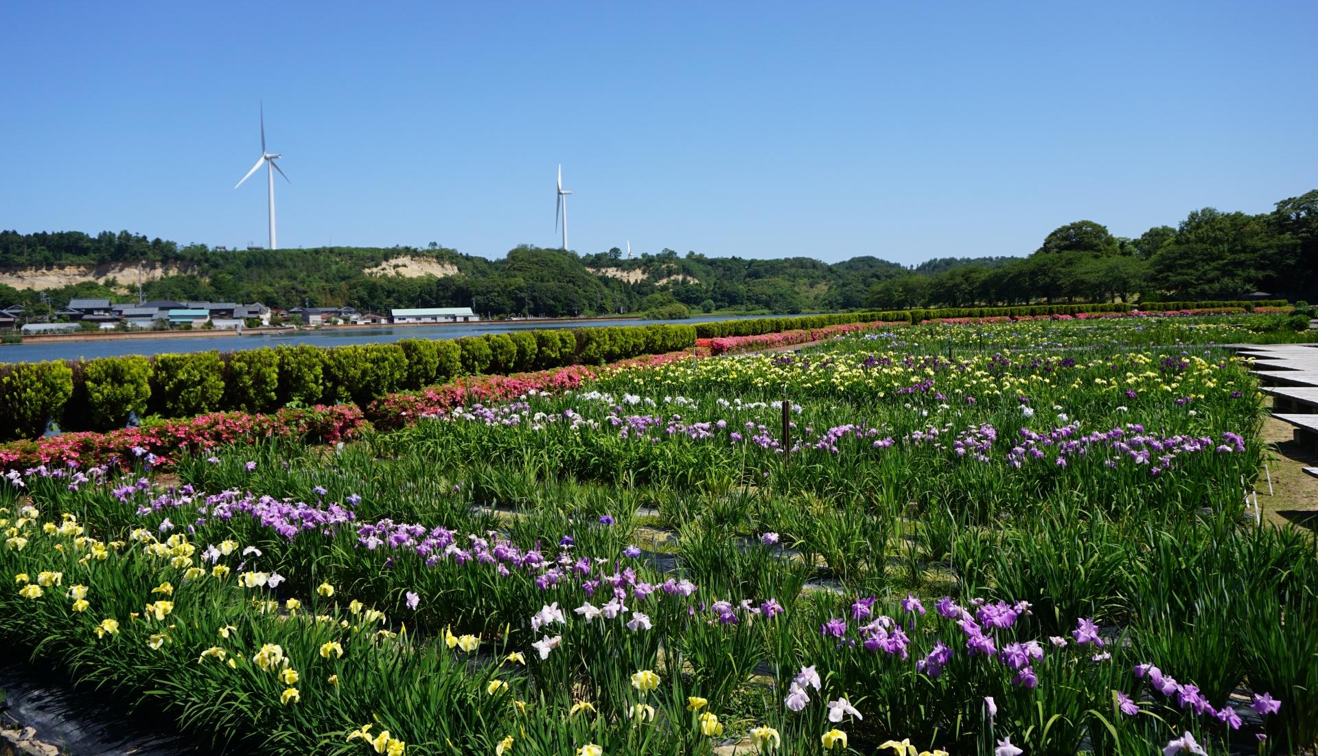あわら北潟風力発電所と花菖蒲の風景